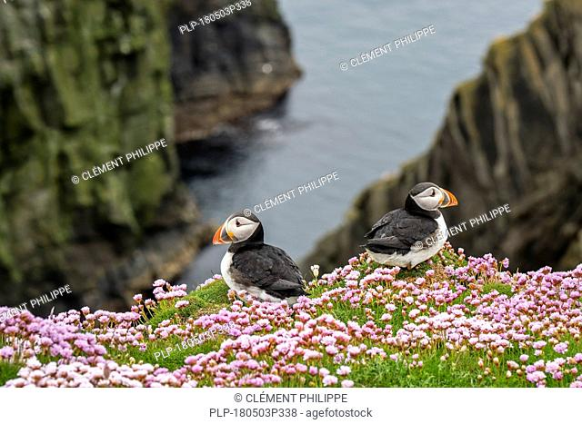 Two Atlantic puffins (Fratercula arctica) in breeding plumage on cliff top in seabird colony at Sumburgh Head, Shetland Islands, Scotland, UK