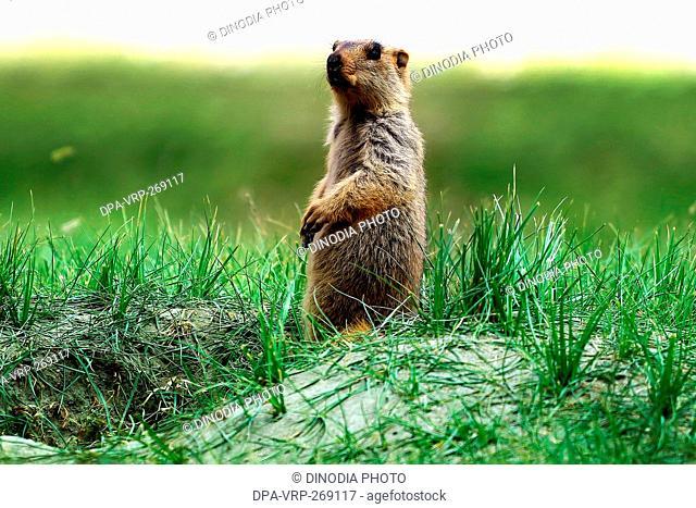 Himalayan marmot, Ladakh, Jammu and Kashmir, India, Asia