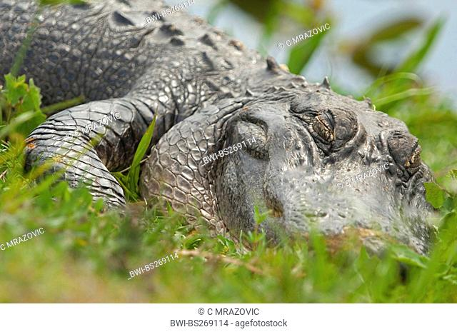 American alligator Alligator mississippiensis, sleeping, USA, Florida, Everglades National Park