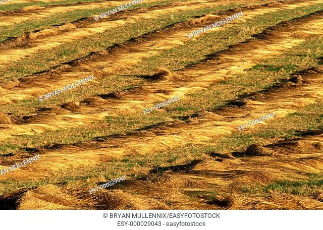 Cut hay in field. Willamette Valley. Oregon. USA