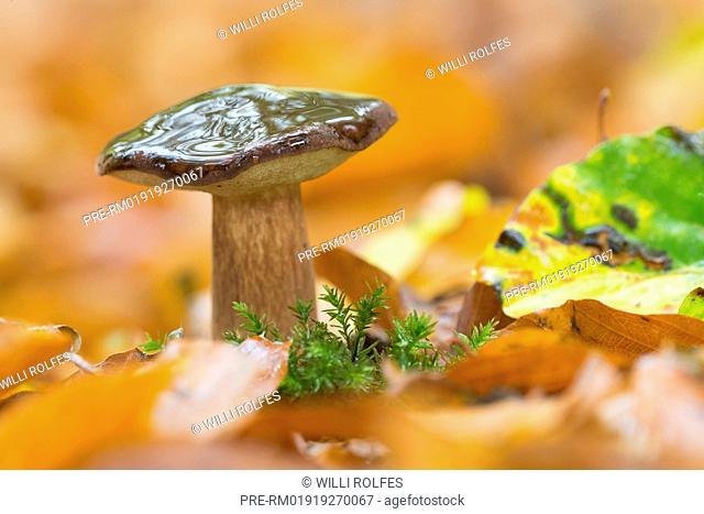Bay bolete (Boletus badius) in autumnal forest, Niedersachsen, Germany / Maronen-Röhrling (Boletus badius) in Herbstwald, Niedersachsen, Deutschland