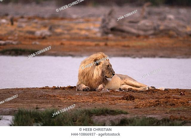Lion, animal, Leo Panthera, water hole, Etosha, National Park, Kunene Region, Namibia, Africa, Travel, Nature
