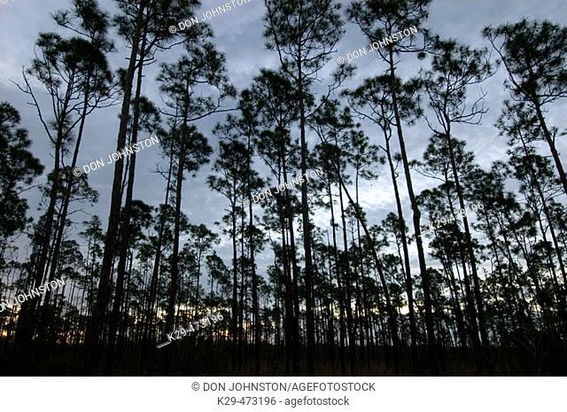 Slash pine forest at dawn. Everglades NP, FL, USA
