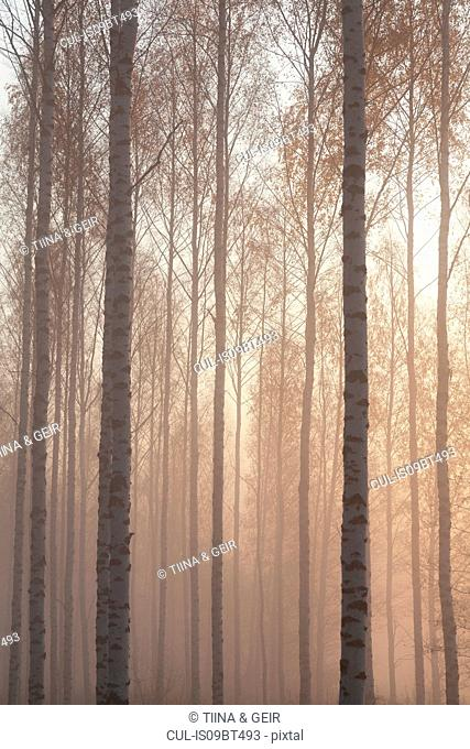 Woodland tree trunks and tops in mist, Lohja, Southern Finland, Finland