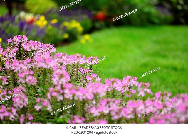 Cleome flowers in very soft focus highlight the flower garden, Pennsylvania, USA