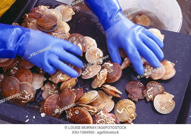 Live shellfish, Queen scallop organically grown in the waters of Skye, Scotland  Sorting and grading the shellfish