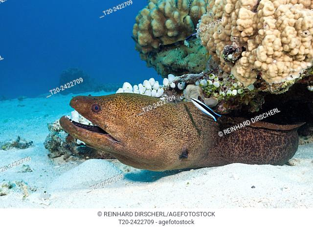 Giant Moray, Gymnothorax javanicus, Great Barrier Reef, Australia