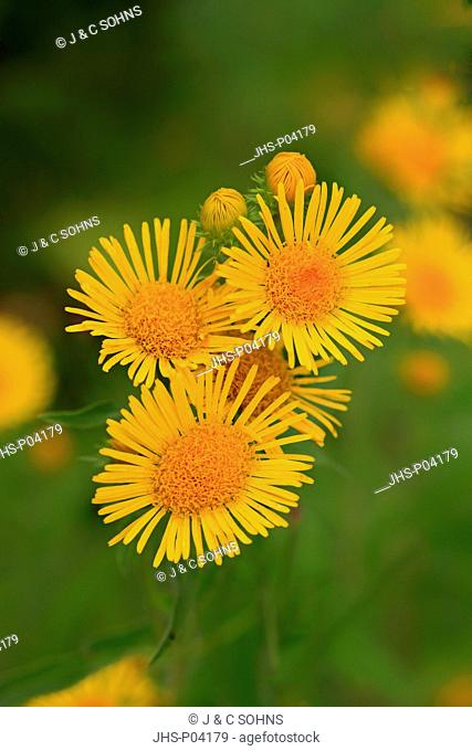 Inula britannica, British yellowhead, (Inula britannica), blooming, Ellerstadt, Germany, Europe