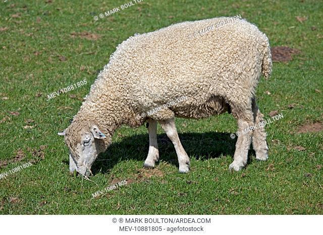 Cotswold Sheep - grazing. Cotswold Farm Park - Gloucestershire - UK