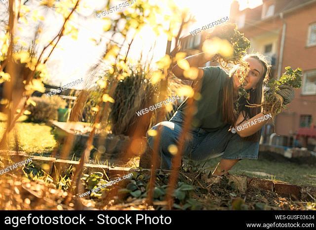 Young woman harvesting celeriac in garden