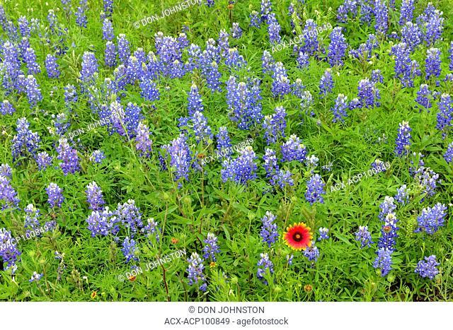 Texas bluebonnet (Lupinus subcarnosus) with a single Firewheel/Inadian Blanket, Llano County CR 310, Texas, USA