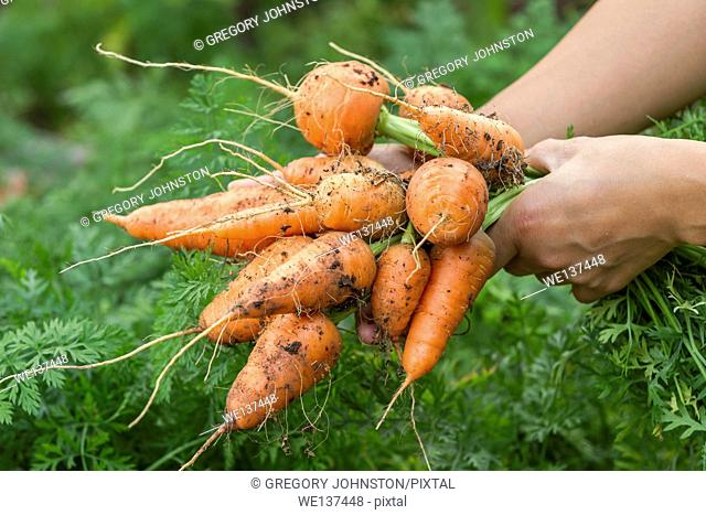 Holding a bunch of freshly picked carrots that still have dirt on them