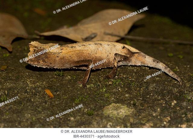 Plated leaf chameleon (Brookesia stumpffi), rainforest, Lokobe National Park, Island of Nosy Be, also Nossi-bé or Nosse Be, northwestern coast, Madagascar
