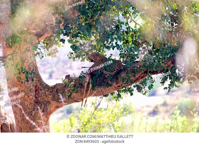 leopard with an impala in a tree