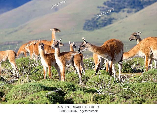Chile,Patagonia,Magellan Region,Torres del Paine National Park,Guanaco (Lama guanicoe),group
