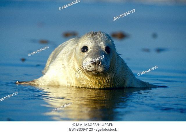 gray seal (Halichoerus grypus), young, United Kingdom