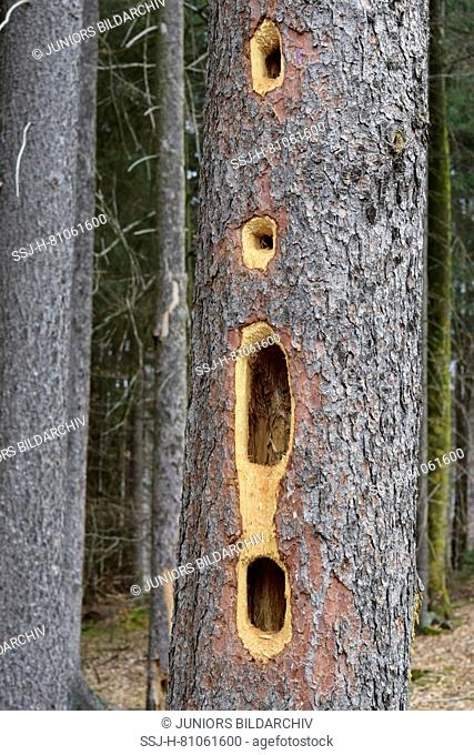 Holes in the trunk of a spruce produced by Black Woodpecker (Dryocopus martius)