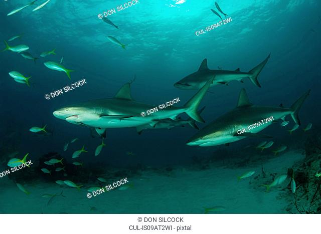 Underwater view of reef sharks swimming above seabed, Tiger Beach, Bahamas
