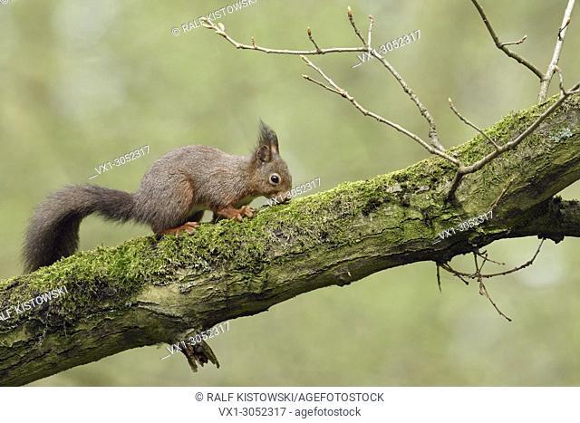 Red Squirrel ( Sciurus vulgaris ), climbin in a in an oak tree, searching for food, feeding, wildlife, Europe