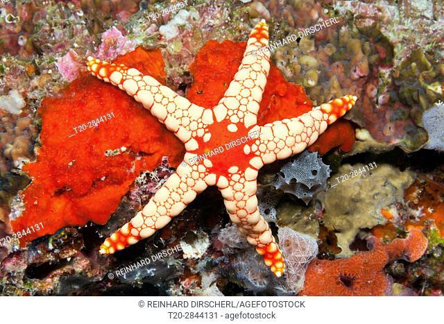 Red Mesh Starfish, Fromia monilis, Felidhu Atoll, Maldives