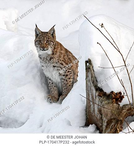 Eurasian lynx (Lynx lynx) hunting in the snow in winter