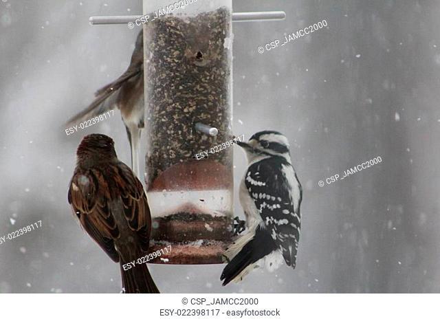 Woodpecker at birdfeeder