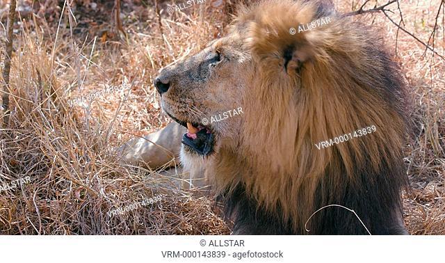 MALE LION HEAD PANTING; MAASAI MARA, KENYA, AFRICA; 03/09/2016