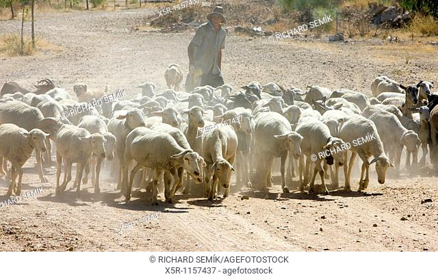 sheep herd with herdsman, Badajoz Province, Extremadura, Spain