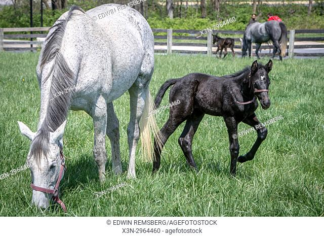 Mare and newborn foal graze in field together in College Park Maryland USA
