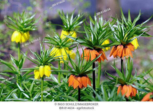 Crown Imperial or Kaiser's Crown (Fritillaria imperialis)