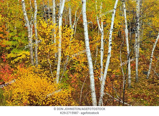 White birch tree woodland in autumn colour at Lake Laurentian Conservation area. Greater Sudbury, Ontario, Canada