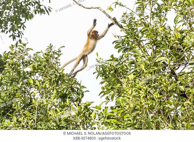 Young proboscis monkey, Nasalis larvatus, leaping, Tanjung Puting National Park, Borneo, Indonesia