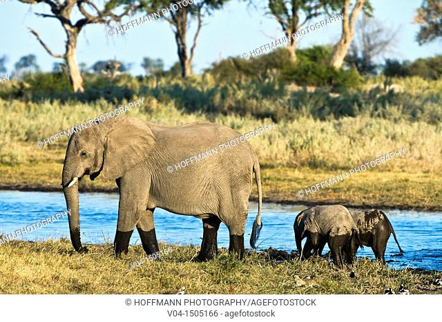 An adult african elephant (Loxodonta africana) crossing the Selinda Spillway with its offspring, Botswana, Africa