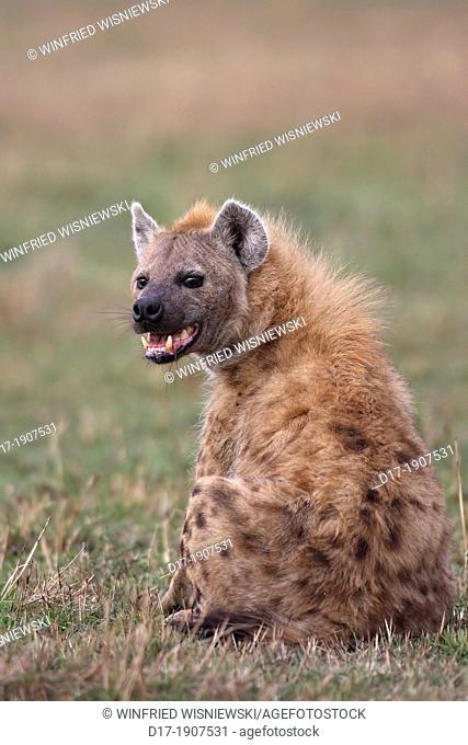 Spotted hyena (Crocuta crocuta) without lower jaw fews. Masai Mara Preserve, Kenya