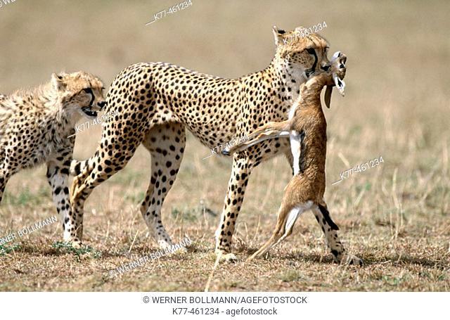 Cheetah (Acinonyx jubatus), female with young and prey. Masai Mara Game Reserve. Kenya