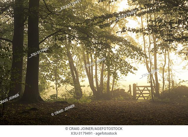 A gate at the edge of a woodland in mist at sunrise. Stockhill Wood, Mendip Hills Area of Outstanding Natural Beauty, Somerset, England