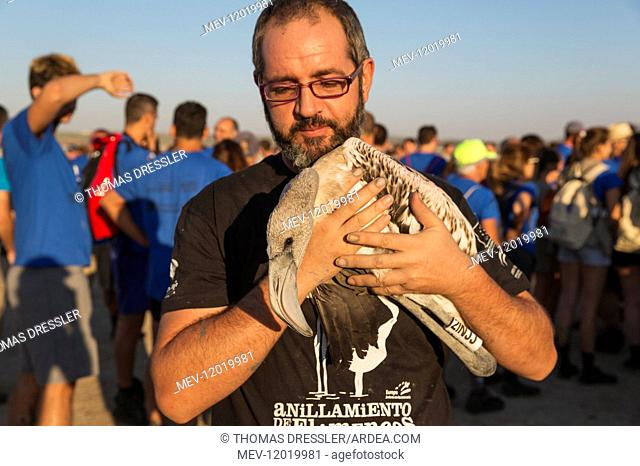 Greater Flamingo - apparently relaxed immature in the care of a volunteer while awaiting a medical check and the ringing procedure - at the Laguna de Fuente de...