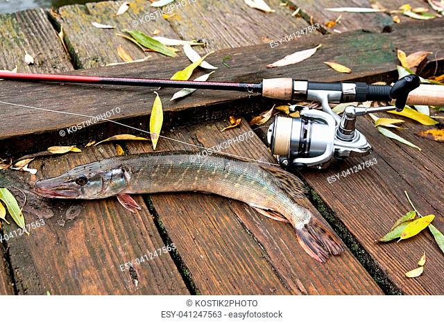 Freshwater Northern pike fish know as Esox Lucius and fishing rod with reel lying on vintage wooden background with yellow leaves at autumn time