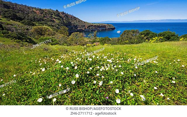 Island morning glory above Pelican Bay, Santa Cruz Island, Channel Islands National Park, California USA