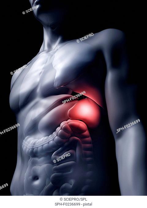 Illustration of the human spleen