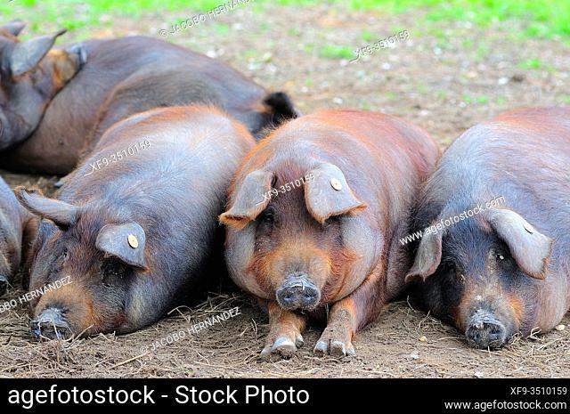 Iberian pigs. Badajoz province. Extremadura. Spain
