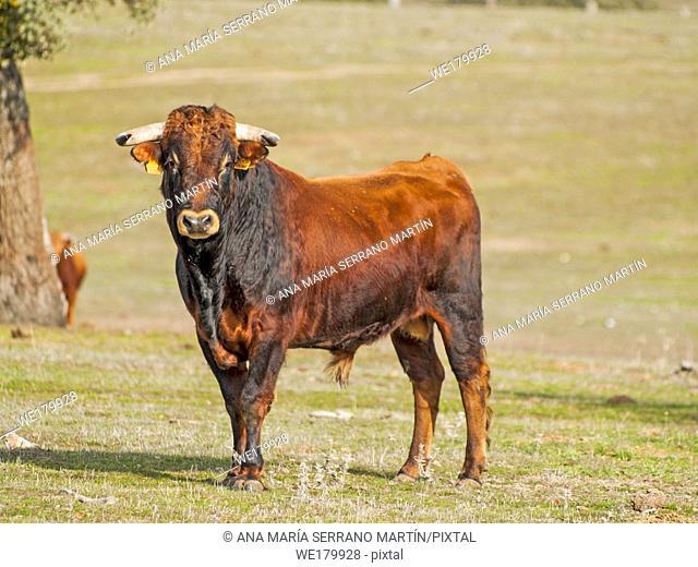 Fighting bulls in the dehesa in Salamanca (Spain). Ecological extensive livestock concept