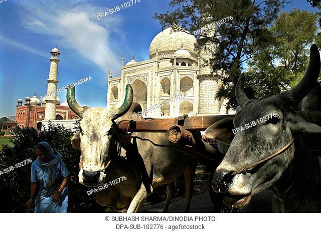 Two bulls bullock cart front Taj Mahal Agra Ancient artist artistic beautiful blue sky clouds Color constructed 1631 A.D -1648 A