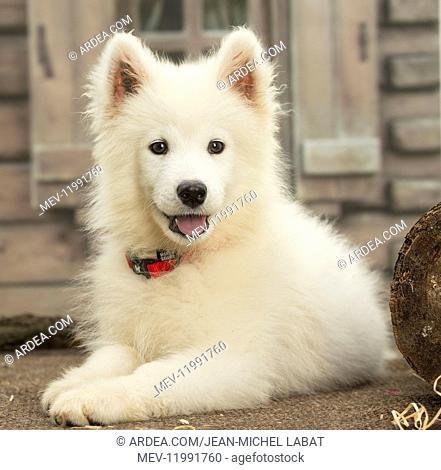 Samoyed Dog, puppy