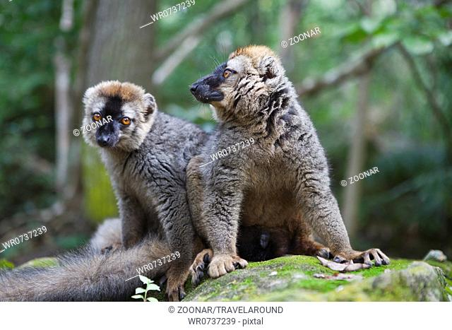 Common brown lemur, Eulemur fulvus, Madagascar