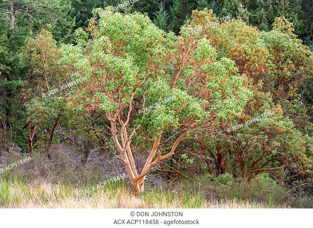 Arbutus tree, Malahat, British Columbia, Canada
