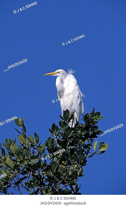 Great White Egret,Egretta alba,Sanibel Island,Florida,USA,adult on tree