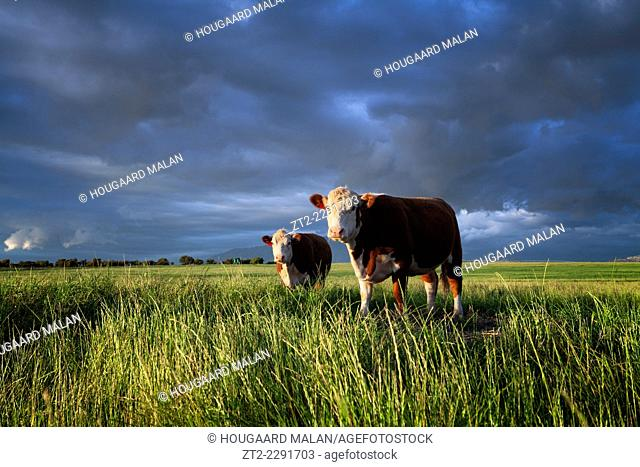 Landscape photo of two Ayrshire cows in a green field. Swartland, Western Cape, South Africa