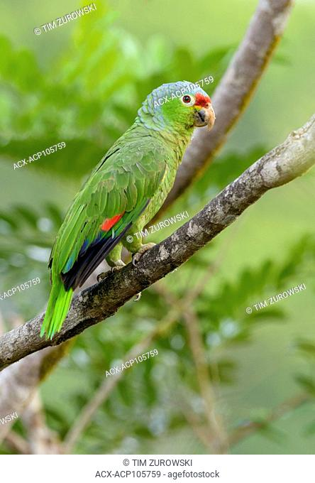 Red-fronted Parrot (Poicephalus gulielmi) at Laguna Lagarto Lodge near Boca Tapada, Costa Rica