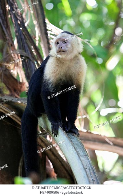 White headed Capuchin Monkey in Cahuita National Park, Costa Rica